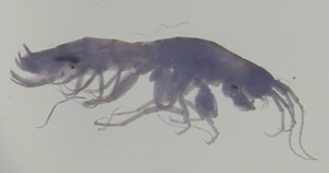 Niphargus wexfordensis, photographed under a blue filter  (specimen from a spring in County Kilkenny).